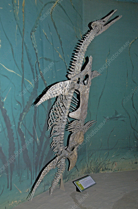 Short-necked Plesiosaur