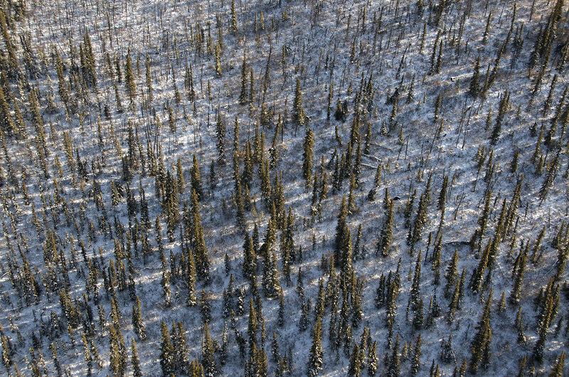 Spruce Tree Forest, Yukon