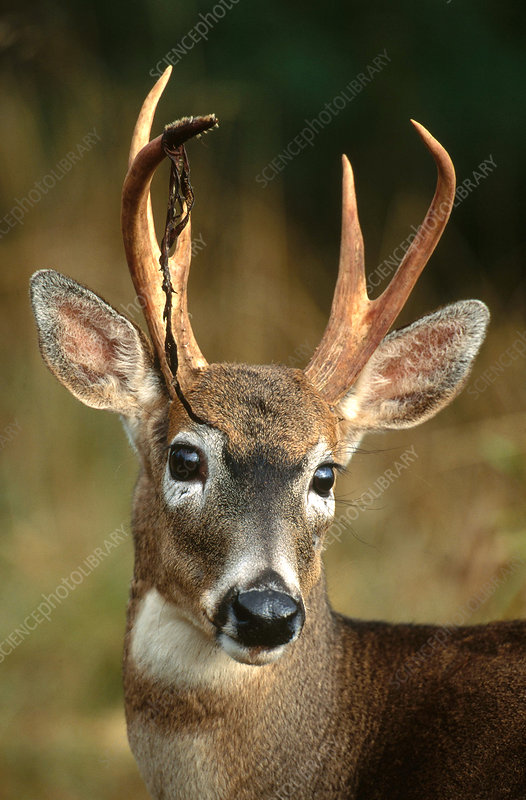 Columbia White-tailed Deer