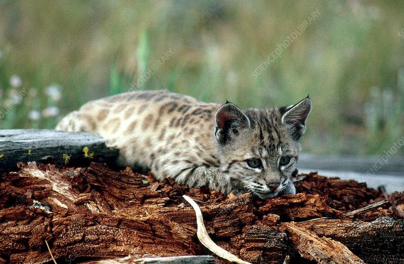 Bobcat kitten (Lynx rufus)