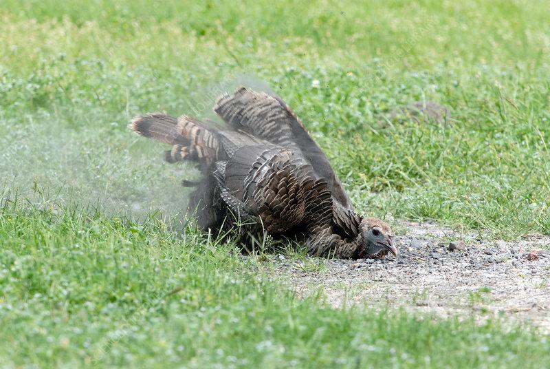 Wild Turkey Taking Dust Bath
