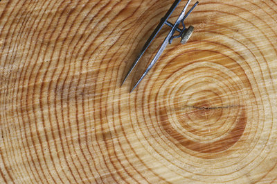 Annual growth rings of a pine