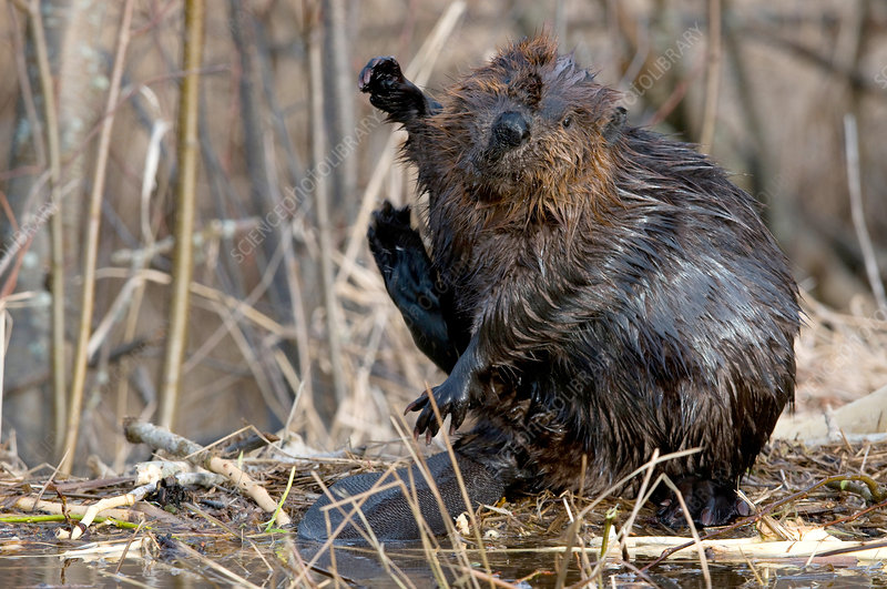 Beaver sitting and scratching