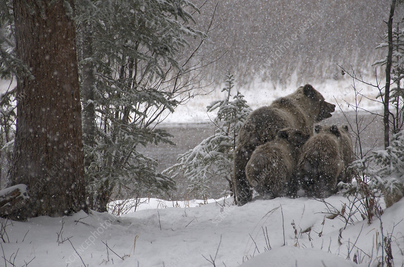 Wild Grizzly Bear Sow and Cubs