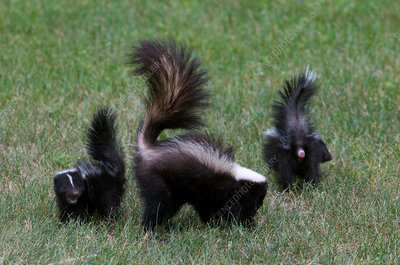 Striped Skunk mother and young