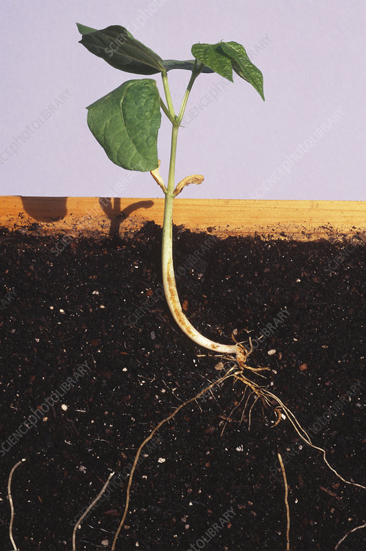 Bean seedling, roots and leaves