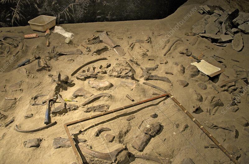 An Excavated Centrosaurus Bonebed