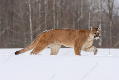 Mountain Lion walking through snow
