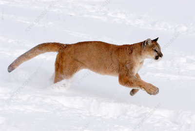 Mountain Lion running through snow