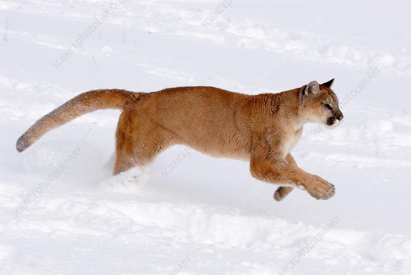 Mountain Lion running through snow