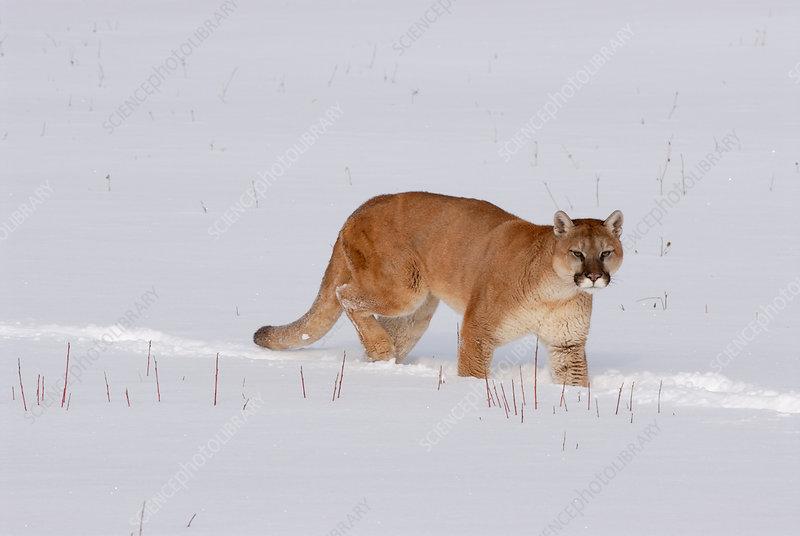 Mountain Lion walking through snow