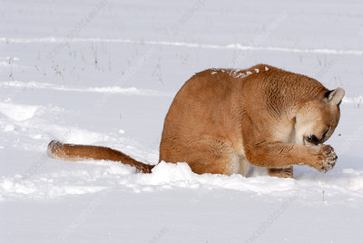 Mountain Lion grooming paw in snow