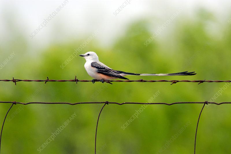 Scissor-tailed Flycatcher on fence