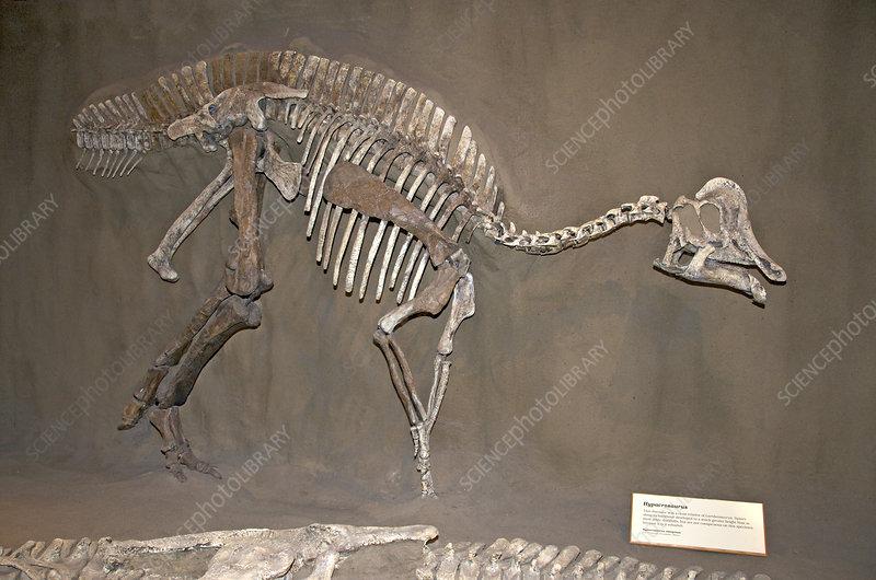 Skeleton of Hypacrosaurus Dinosaur