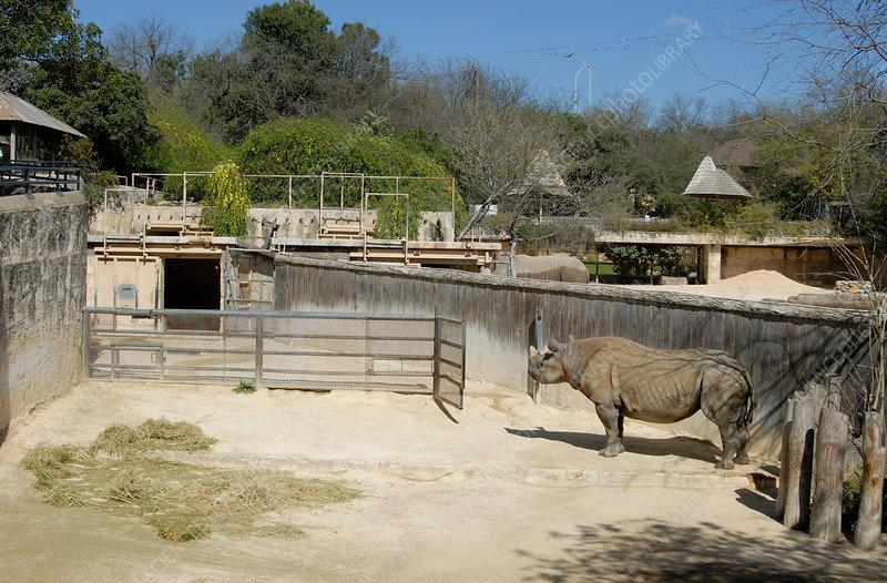 Black Rhinoceros at San Antonio Zoo