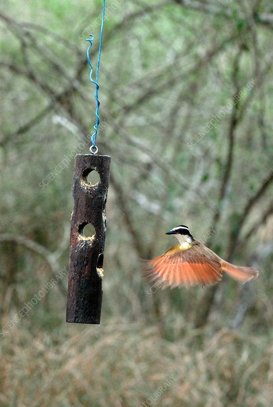 Great Kiskadee in flight near feeder