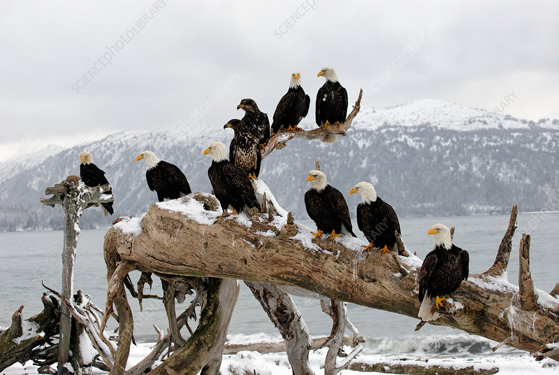Bald Eagles perched on driftwood