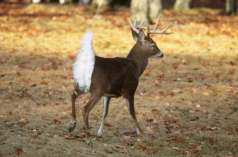 White-tailed Deer in alarm posture