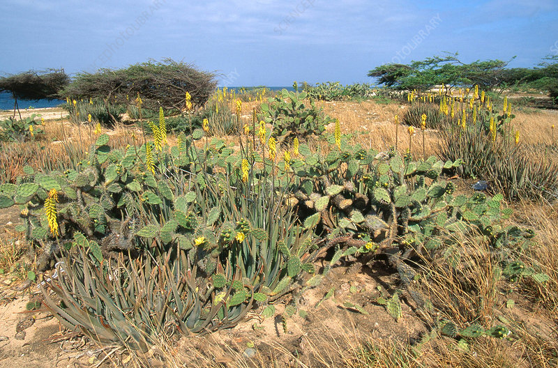 Wild Aloe on Aruba