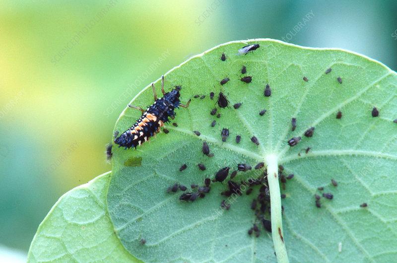 Ladybug Larva Eating Aphids