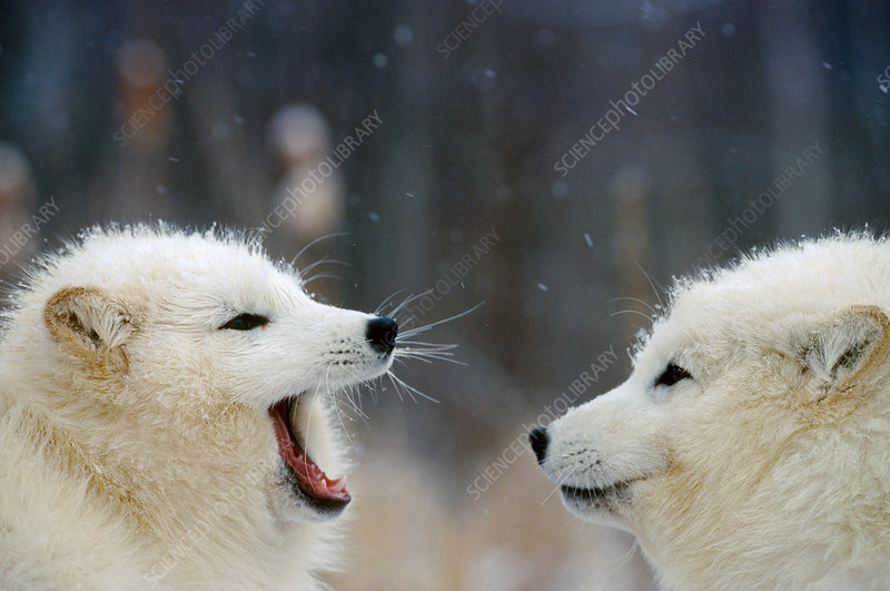 Arctic Fox pair playing