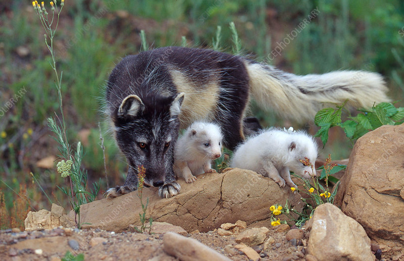 Arctic Fox mother and pups at den site