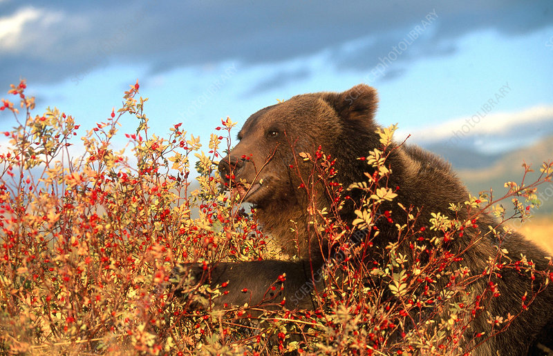 Grizzly feeding on rose hips