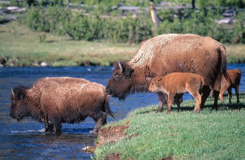 Bison Cows and Calves