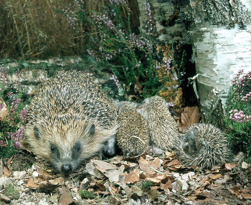 Hedgehog with young
