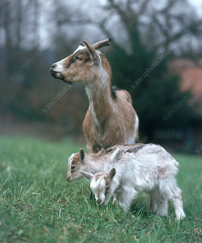 Domestic Goat with young