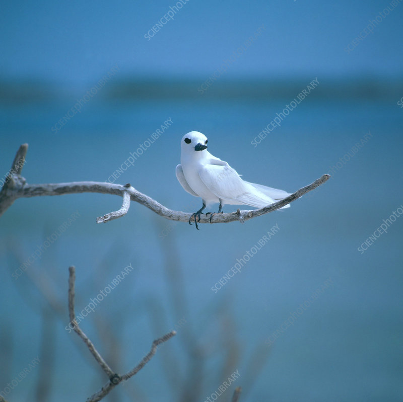 White or Fairy Tern