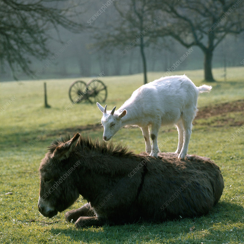 Goat and Donkey
