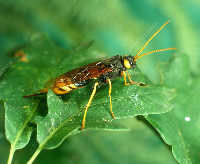 Giant Wood Wasp