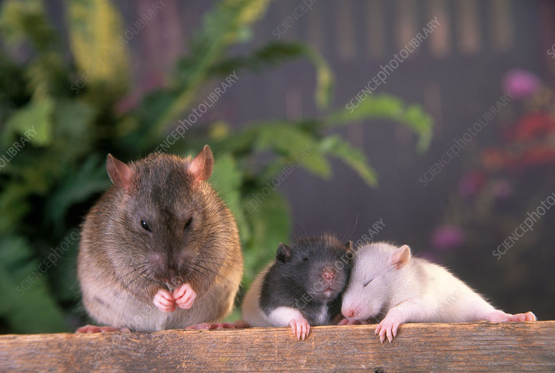 Female rat and her young