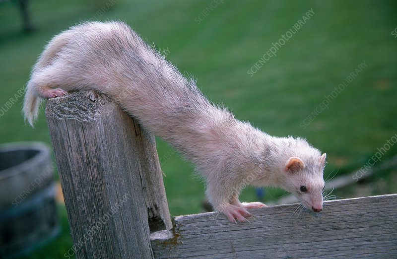 Ferret playing on fence