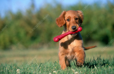 Golden Retriever puppy playing with bone