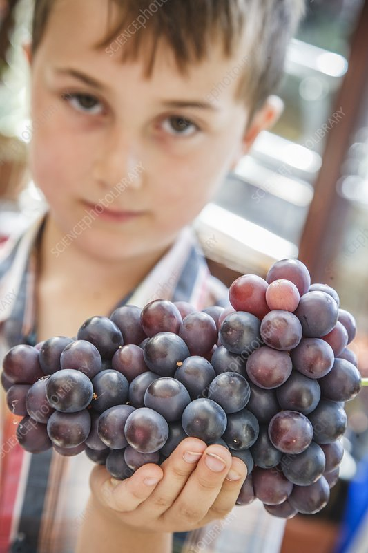 Boy holding home grown bunch of grapes