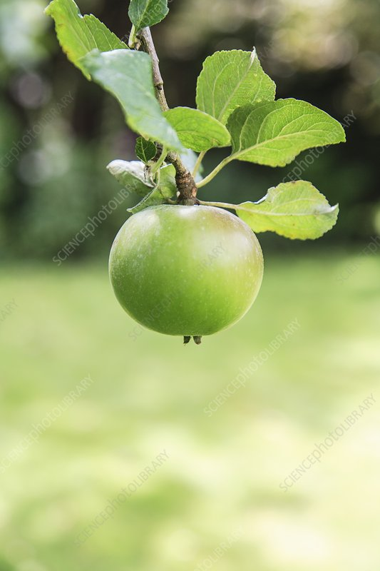 Single apple hanging in a tree