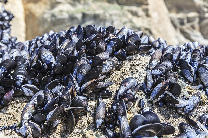 Mussels growing on rocks