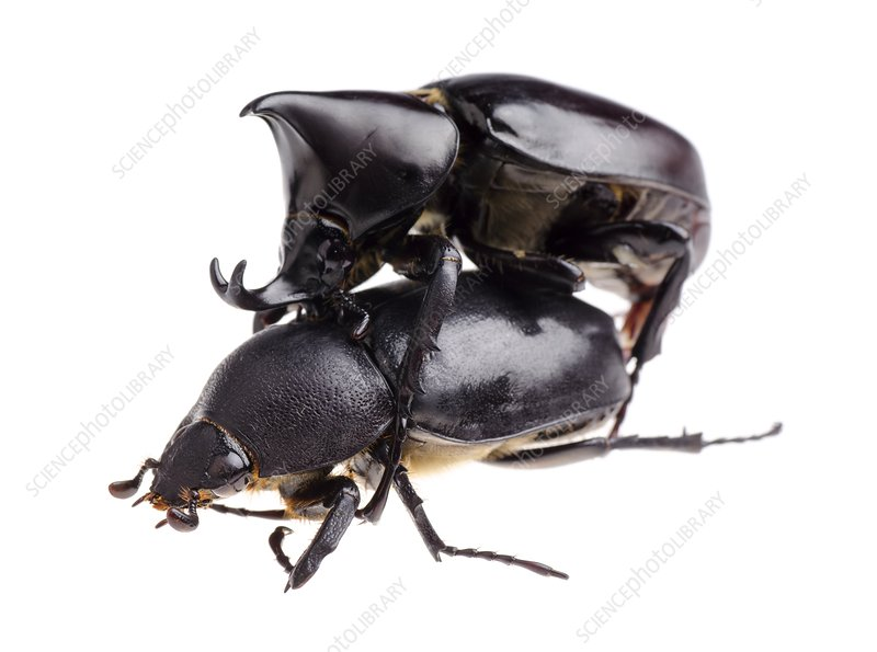 Siamese rhinoceros beetles mating