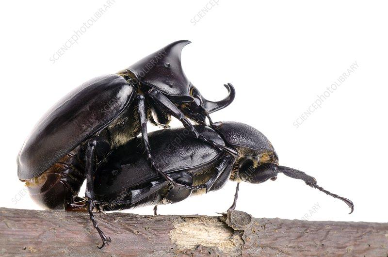 Siamese rhinoceros beetles mating - Stock Image - C014/4623