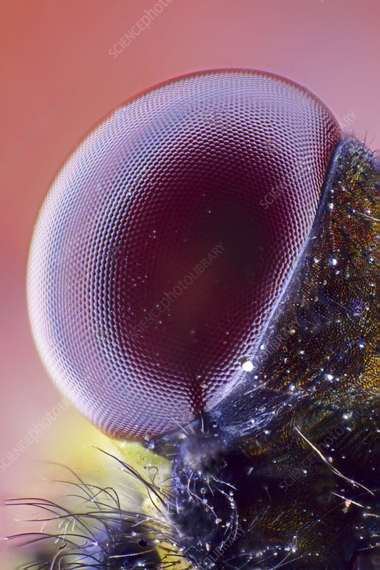 Damselfly eye, light micrograph