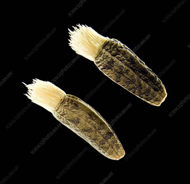 Greater burdock seeds, light micrograph