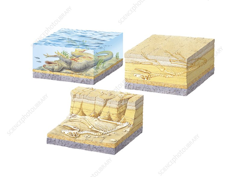 Fossil Formation Diagram Stock Image C014 4795 Science Photo
