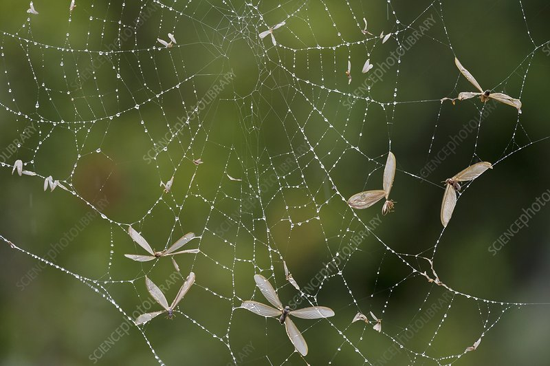 Flying ants trapped in a spider's web