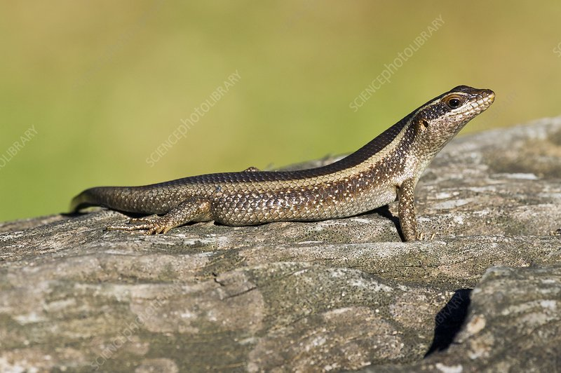 African striped skink on a rock