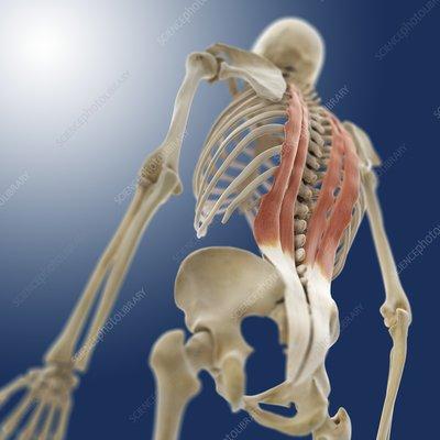Back muscles, artwork
