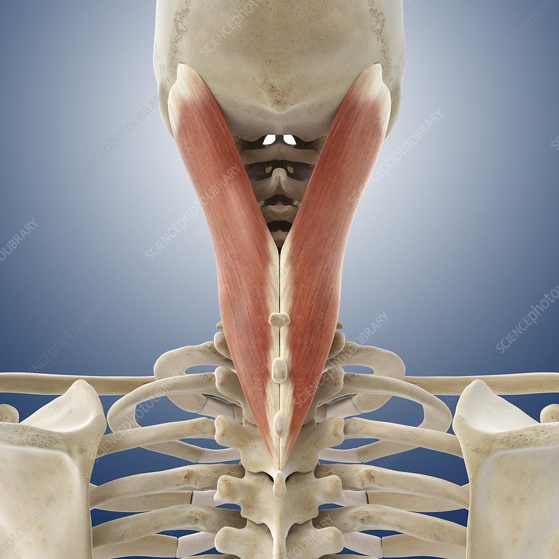 Neck muscle, artwork