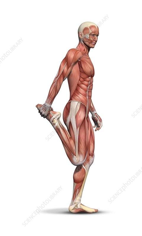Male Muscle Structure Artwork Stock Image C0145115 Science