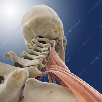 Neck muscles, artwork